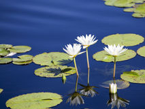Water Lily in blue water. This is a Water Lily in blue water Stock Image