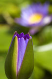Water lily bud Royalty Free Stock Photography