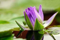 Water lily bud Stock Photo