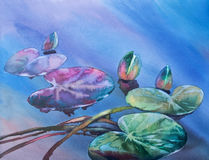 Water lily bud watercolor Stock Image