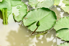 Water lily. In budding stage raises its stem  above the murky water surface Royalty Free Stock Photo