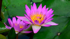 Water lily and bumble bee. Water lily in the pond with a bumble bee stock footage