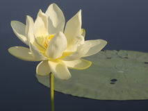 Water lily at Caddo Lake Stock Photos