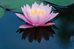 Water lily on calm and cool pool. The lotus flower represents one symbol of fortune in Buddhism Stock Photography