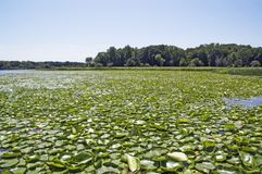 Water-lily carpet in the lake Stock Photography