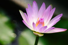 Water lily close up Stock Photo