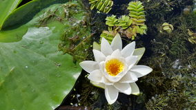 Water lily close up in the Danube Delta Stock Photos