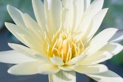 Water lily, close up. Water lily,close up, flower in water Stock Photo