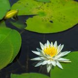 Water lily. Close up of a fragrant white water lily and pads Royalty Free Stock Photos