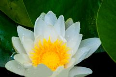 Water lily close up with green leaves royalty free stock photo