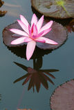 Water lily. The close-up of a pink water lily Stock Image