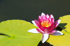 Water lily Stock Photography