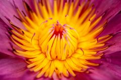 Water lily close up royalty free stock photography