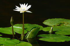 Water lily close up. In the pond with green leaf stock image