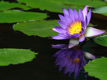 Water lily close up. In the pond with green leaf stock images