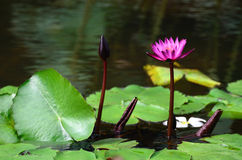 Water lily close up. In the pond with green leaf royalty free stock photography