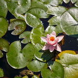 Water-lily close-up Royalty Free Stock Images