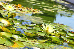 Water-lily. Close-up view. Stock Photography