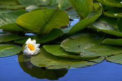 Water lily. Close-up of water lily in the Danube Delta stock photo