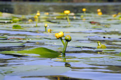 Water lily. Close up of  yellow water lily  with green leaves on water Stock Photo