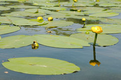 Water lily. Close up of  yellow water lily  with green leaves on water Stock Photography