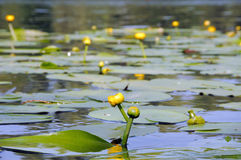 Water lily. Close up of  yellow water lily  with green leaves on water Royalty Free Stock Photo