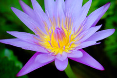 Water lily closeup with blurred background. Purple lotus flower. macro closeup with blurred background Stock Photography