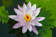 Water lily closeup. Indonesia, Bali Royalty Free Stock Photo