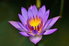 Water lily. Stock Photography