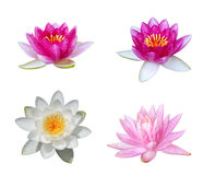Water Lily Collection. Collection of water lily isolated on white Royalty Free Stock Image