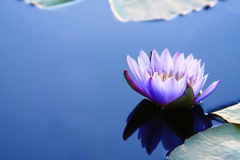 Water lily with copyspace. Water lily in early morning light with plenty of copyspace Royalty Free Stock Image