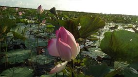 Water-Lily Crowder royalty free stock photography