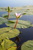 Water lily in dam, Garden Route, South Africa Stock Photo