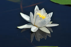 Water lily in the Danube delta Royalty Free Stock Images