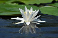 Water lily in the Danube delta Stock Photo
