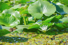 Water lily in the Danube delta Royalty Free Stock Image