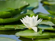 Water lily in the Danube delta, Tulcea, Romania Stock Photography