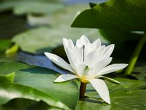 Water lily in the Danube delta, Tulcea, Romania stock photo