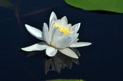 Water lily in the Danube delta Stock Image