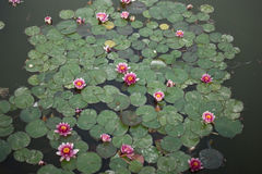 Water Lily. Digital photo of a water lily taken on a little pond Royalty Free Stock Image