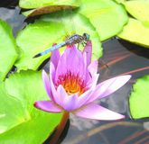 Water Lily and Dragonfly Royalty Free Stock Image