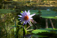 Water lily with dragonfly Royalty Free Stock Image