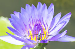 Water lily and dragonfly Royalty Free Stock Images