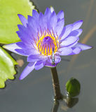 Water lily and dragonfly Stock Photo