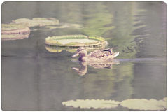 Water Lily and Duck paper background Stock Photos