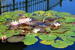 Water lily in  Entertainment and Recreation Center Belmontas Stock Photo