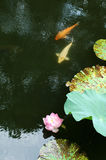 Water Lily & Fish. Water Lily in China, the famous garden, The Humble Administrator's garden Royalty Free Stock Photo
