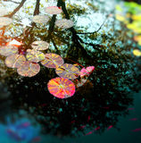 Water lily with fish Royalty Free Stock Photos