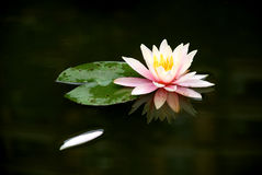 The water lily floating Royalty Free Stock Photography