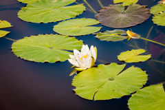 Water lily floating in water Royalty Free Stock Images
